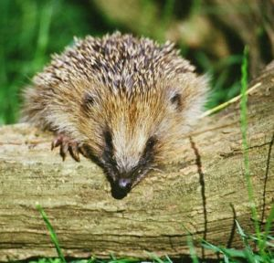 Hedgehog-on-a-log.