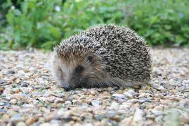 hedgehog_by-mike_toms